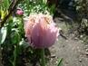 tulipán 36