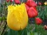 tulipán 37