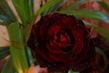 Tmavá růže