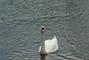 krmení labutí