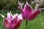 tulipány 01