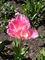 Tulipánek2