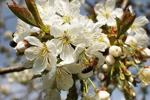 FOTKA - už kvetou třešně ..náádhera