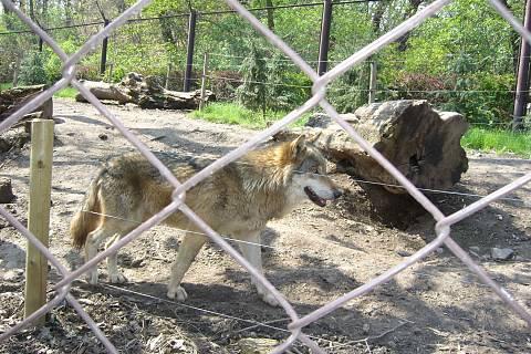 FOTKA - Zoopark Chomutov - vlk