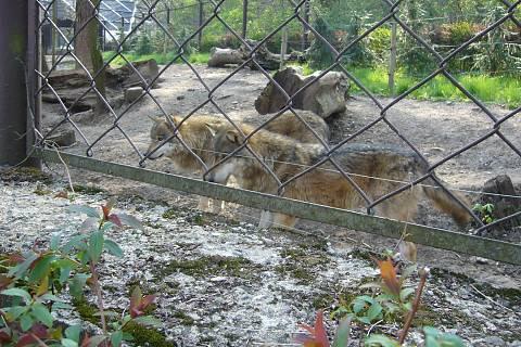 FOTKA - Zoopark Chomutov - vlci