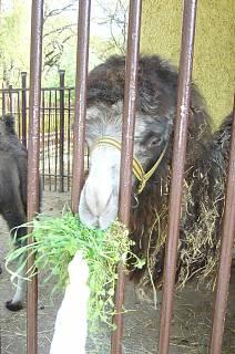 FOTKA - Zoopark Chomutov - máma velbloudice