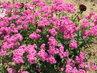 Růžová letnička, kterou ani nesázím semení se sama