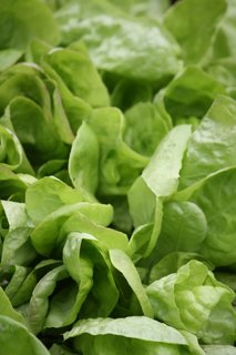 FOTKA - Sazeničky salátu