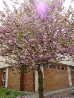 FOTKA - kvetoucí strom