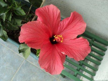 FOTKA - čínska ruža1