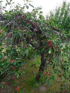 FOTKA - višně
