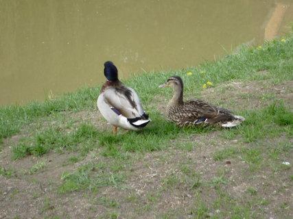 FOTKA - kachny u řeky 2