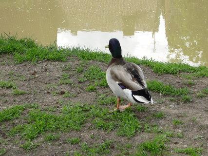 FOTKA - kachny u řeky 3