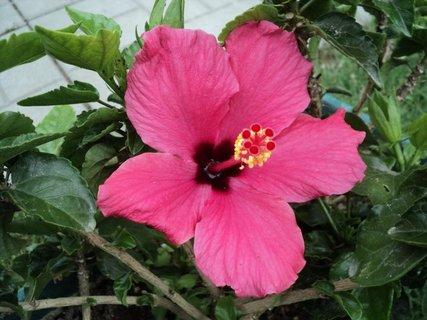 FOTKA - čínska ruža5