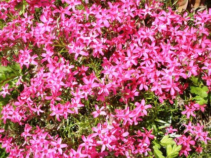 FOTKA - *Růžové skalničky