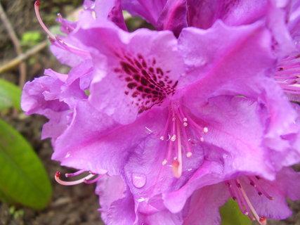 FOTKA - rododendron před domem
