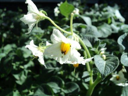 FOTKA - kvety zemiakov