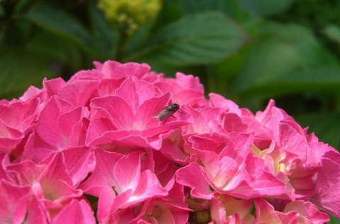 FOTKA - moucha na hortenzii
