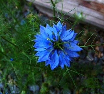 FOTKA - 27.6.2012, černucha modrá..