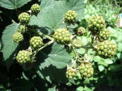 FOTKA - plody černíc vyzerajú dobre