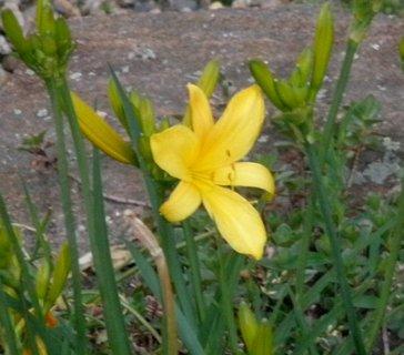 FOTKA - *Žlutá denivka