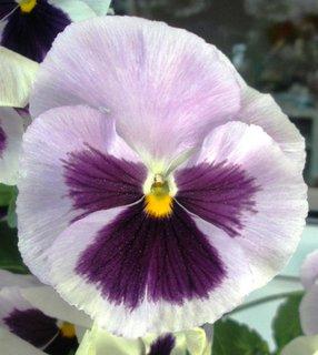 FOTKA - Maceška jemně fialová