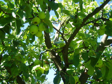 FOTKA - letní jablka