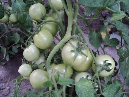 FOTKA - rajčiny dozrievajú