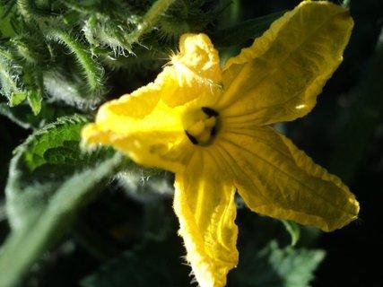 FOTKA - kvet uhorky