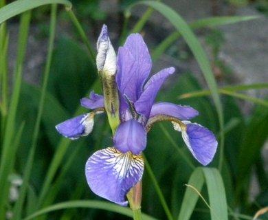 FOTKA - Irisek modrý