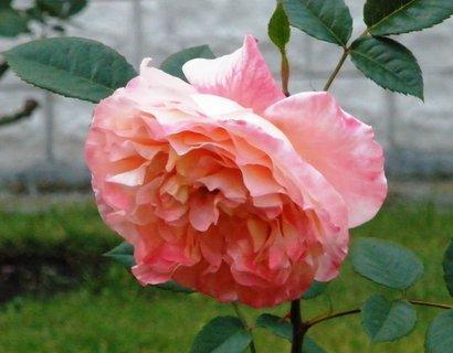 FOTKA - *Květ růže*