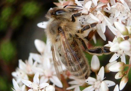 FOTKA - Dnešní včela