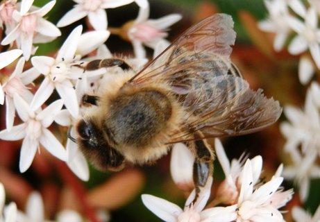 FOTKA - Ještě včelička
