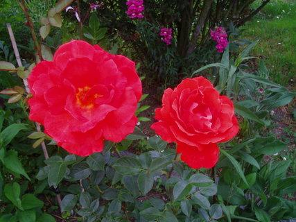 FOTKA - Růže  1