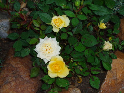 FOTKA - Růže  2