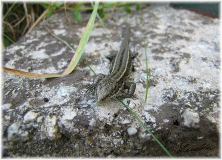 FOTKA - Ještěrka na kamenu