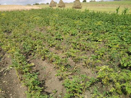 FOTKA - brambory hezky rostou