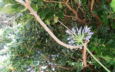 FOTKA - Kalokv�t kvete i v �ern� Ho�e