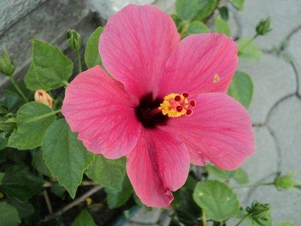 FOTKA - čínska ruža19