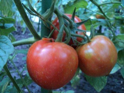 FOTKA - naše rajčiny.