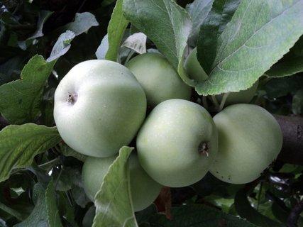 FOTKA - strapec jabĺk