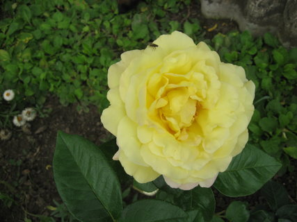 FOTKA - Žlutá růže, růžička