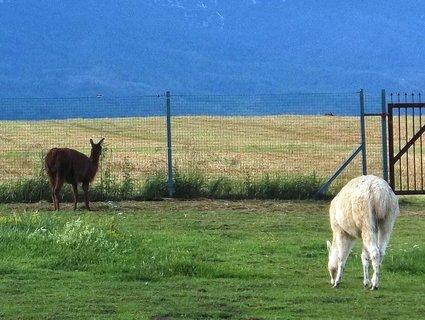 FOTKA - Lamy na farmě