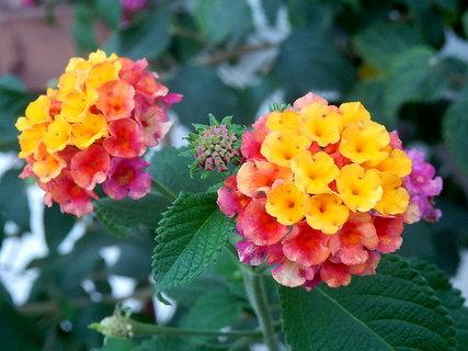 FOTKA - řecké květy 6