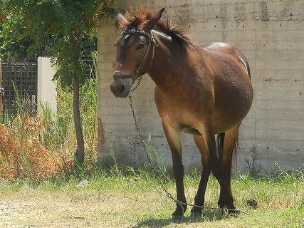 FOTKA - řecká mula,