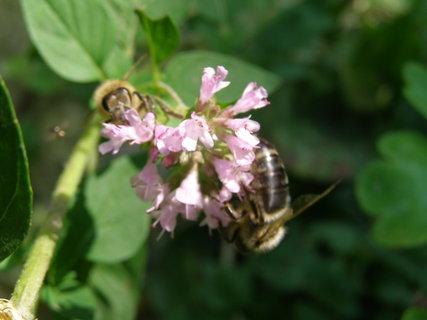 FOTKA - na oreganu včely