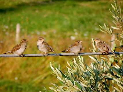 FOTKA - vrabčí rodinka po ránu