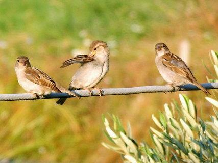 FOTKA - vrabčí rodinka po ránu,