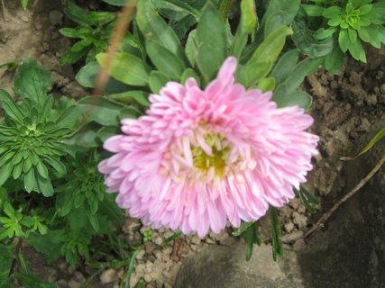 FOTKA - Moje astry - růžová