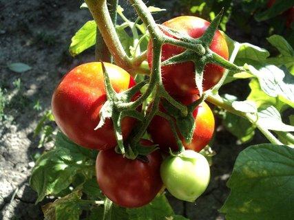 FOTKA - rajčiny už konzumujeme